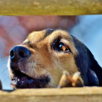 Give Cannabis Treats to Barking Dogs