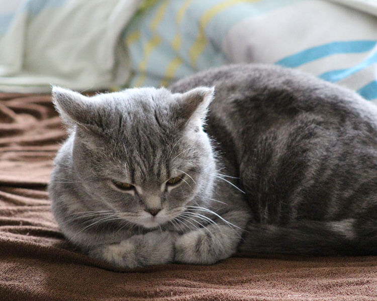 a cat lying the sofa after peeing