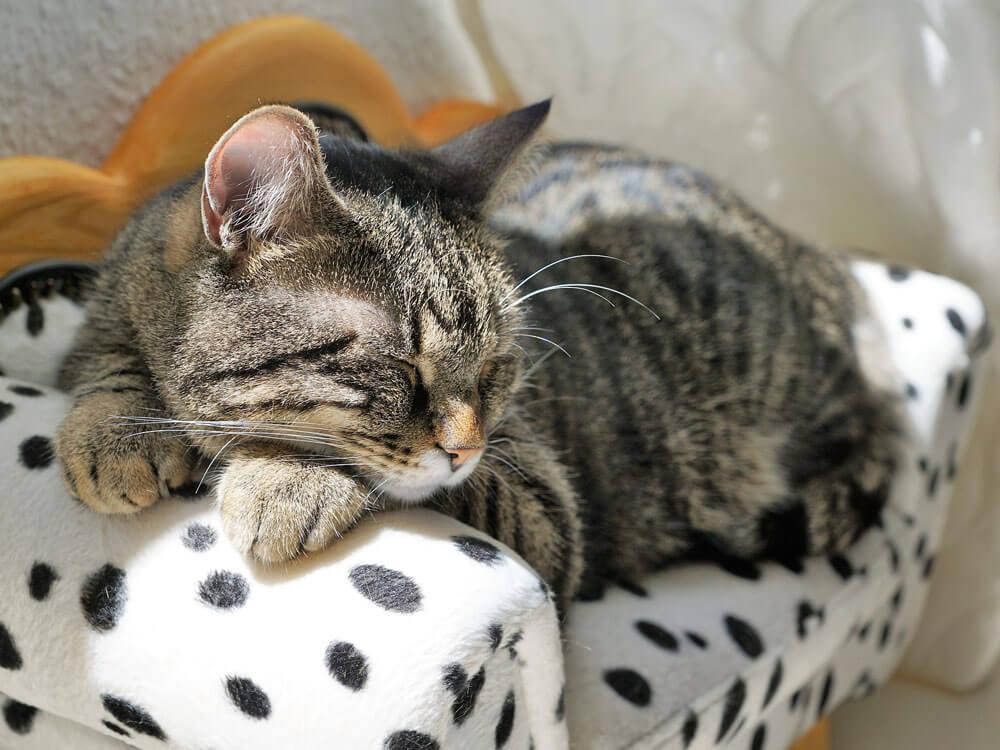 cat sleeping in its mini sofa