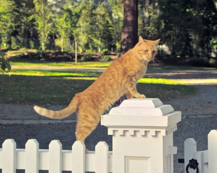 captain marvel's cat, goose, standing on a fence