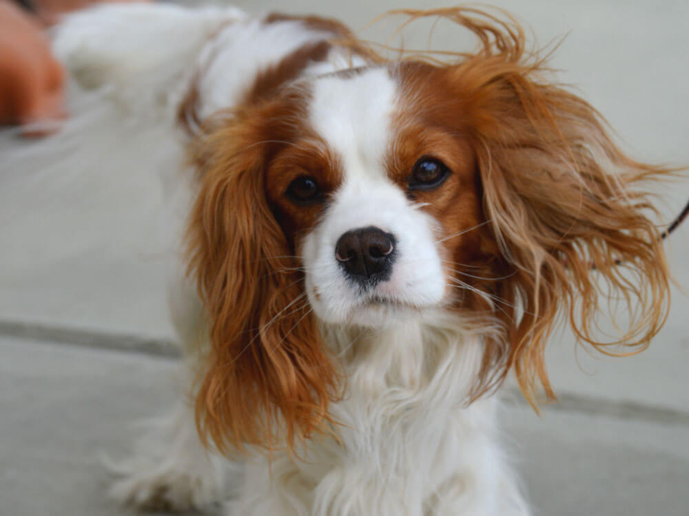 cavalier king charles spaniel, one of the best small lap dog breeds