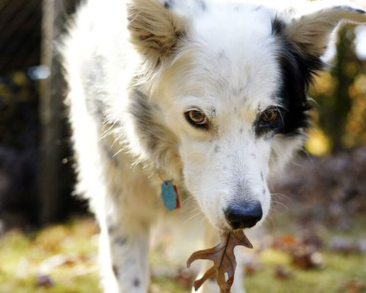 chaser, a border collie, known to have memorised and understood approximately more than a thousand words