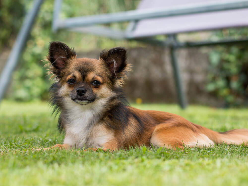 chihuahua, one of the best small lap dog breeds