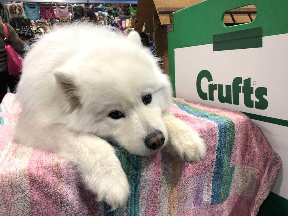 crufts 2019 in pictures and clips 1