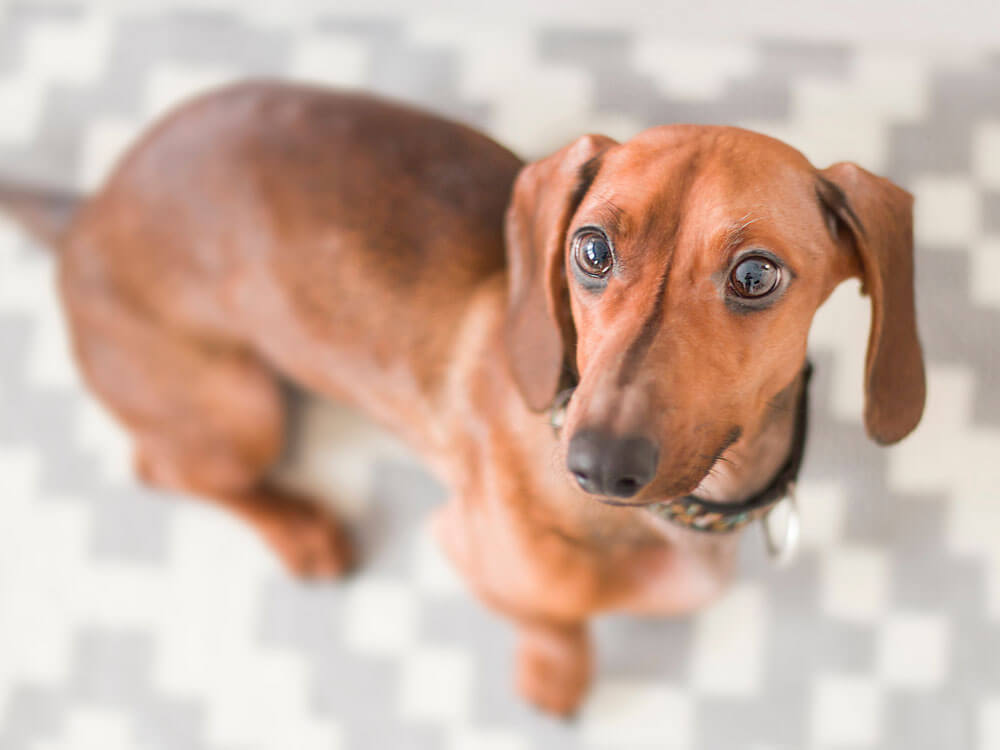 Dachshund's Odyssey as an Artist's Muse