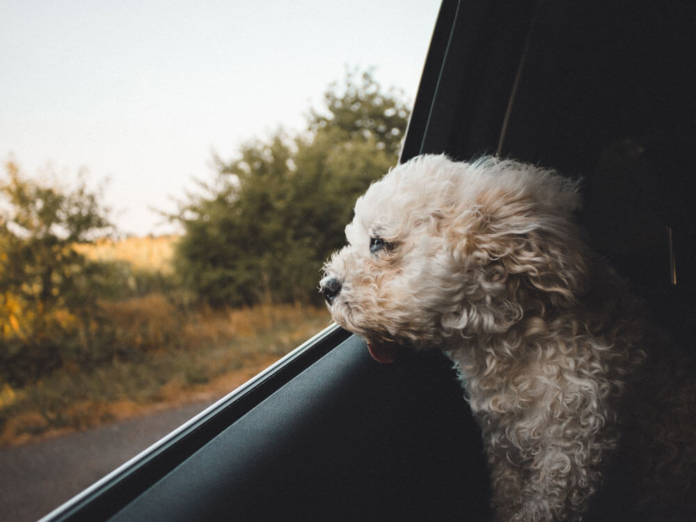 a white dog leaning the car window