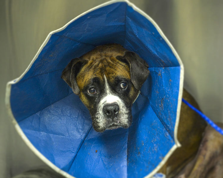 dog spay recovery - 1