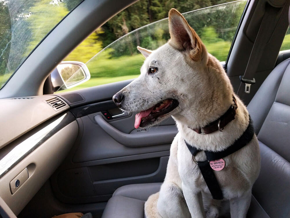 a dog sitting in front of a car with seatbelt