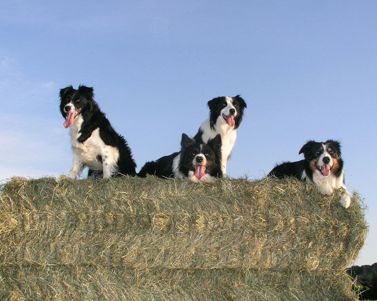four border collies sitting on a hay roll