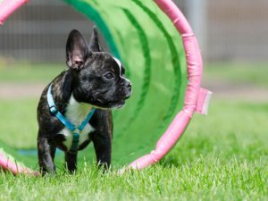 Practical Tips on French Bulldog Training