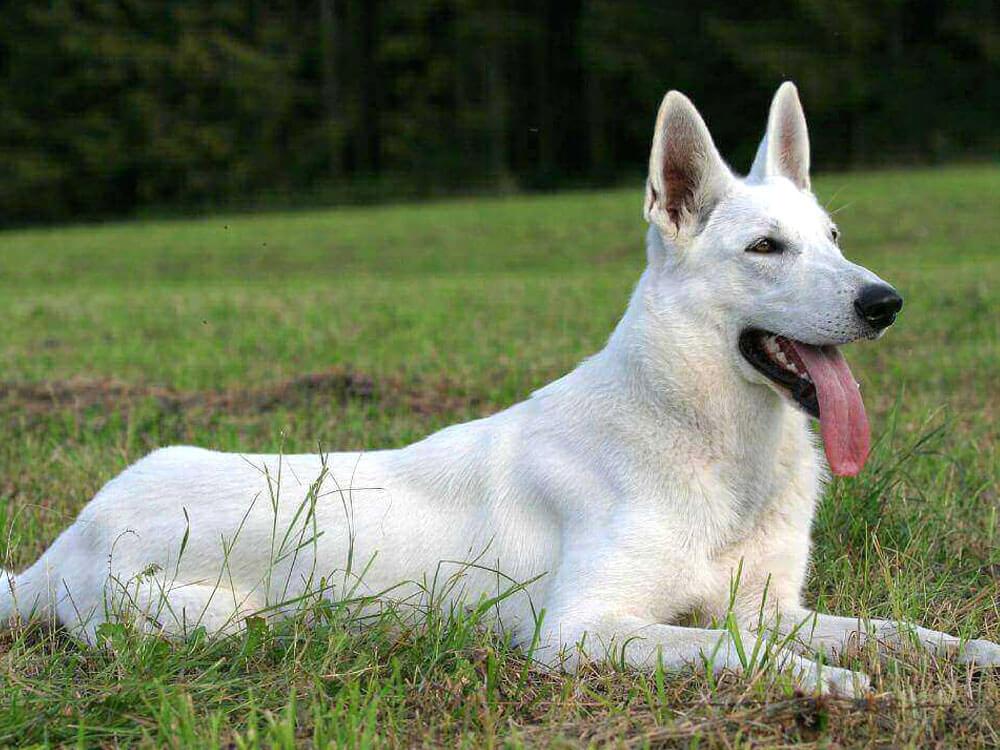 a white german shepherd dog lying on the grass