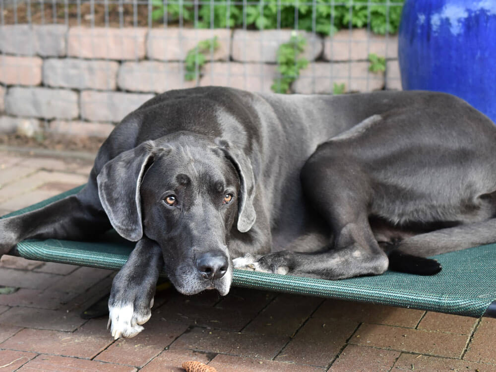 great dane, one of the best large lap dog breeds