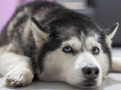 Heroic Husky Stories: Have-a-go-hero Husky Led Police to a Suspect