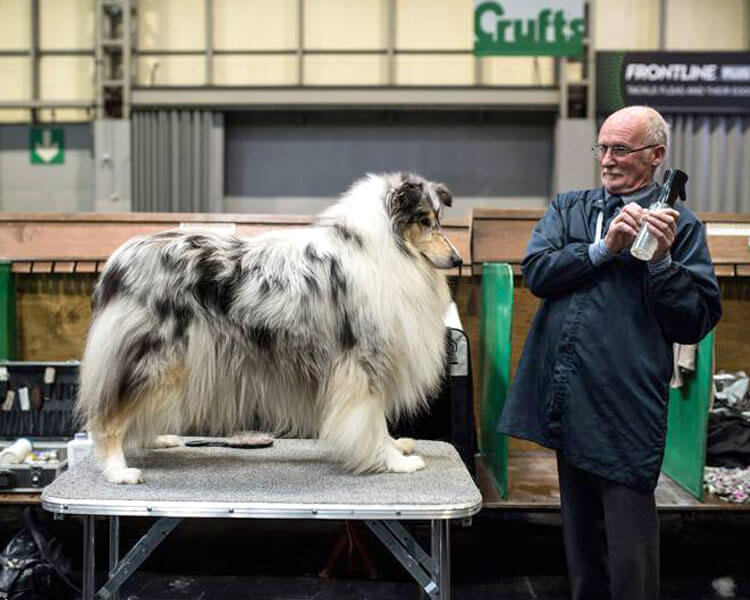 an old man grooming a rough collie dog