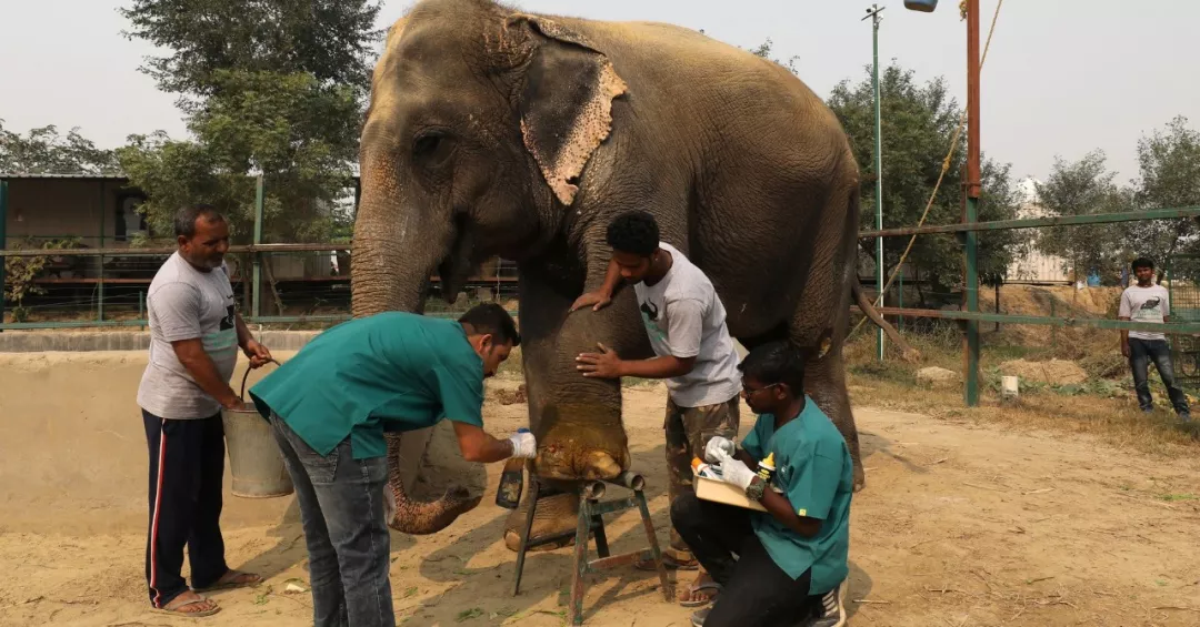 four men helping each other to cure an elephants wound on the foot