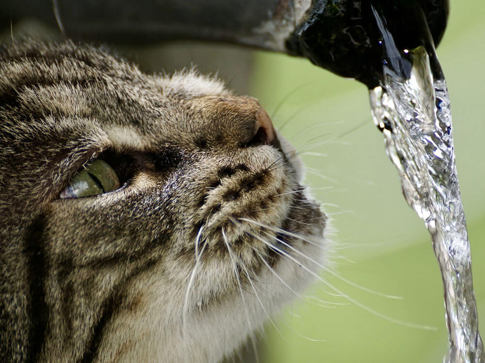 a cat drinking water in the faucet