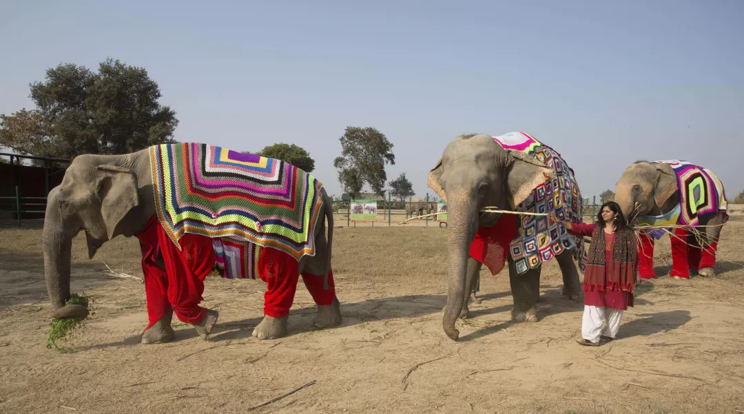 a woman guarding three elephants wearing knitted sweaters