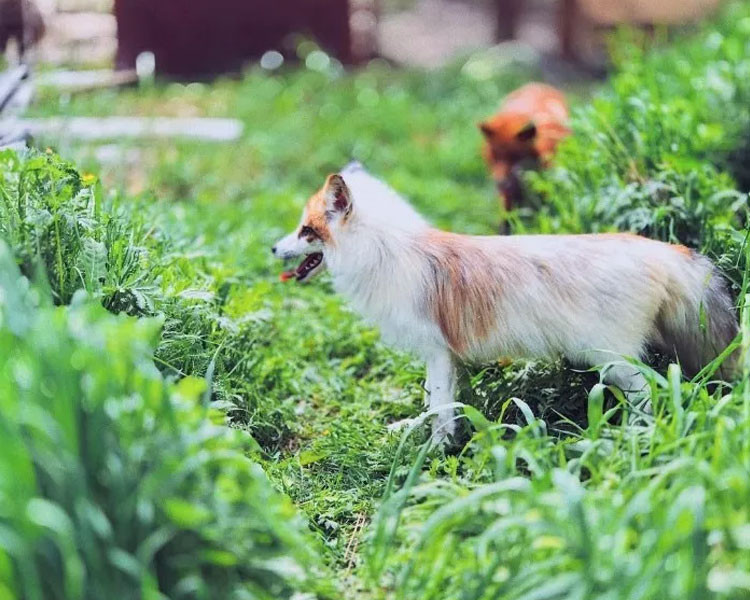 a fox dog which Daria and her husband adopted