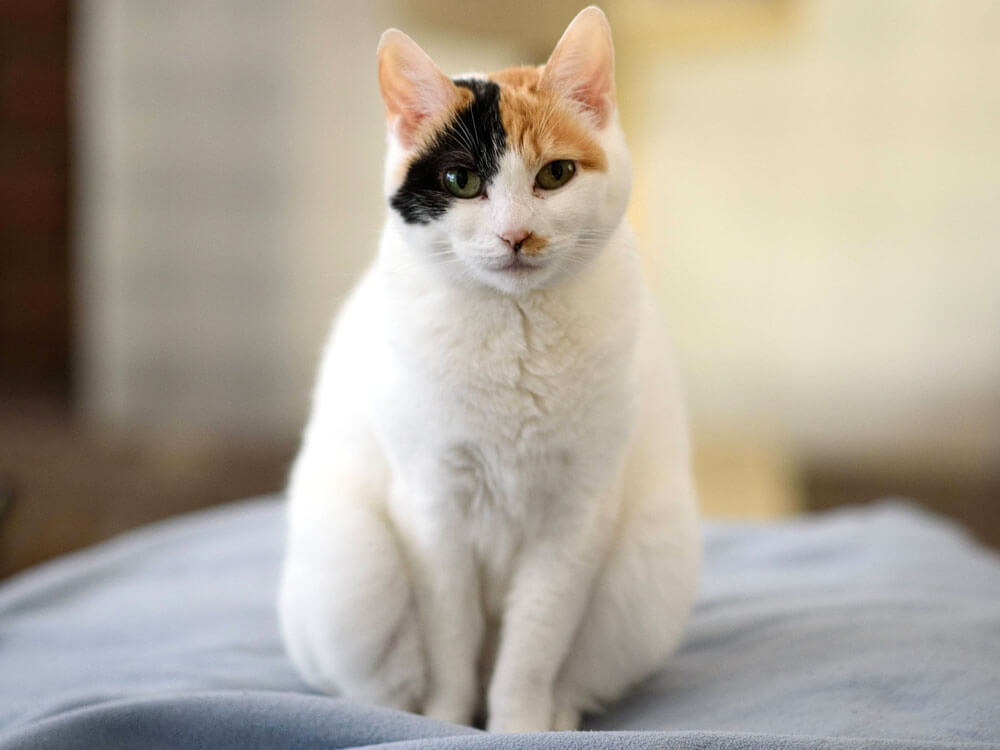 original lucky cat
