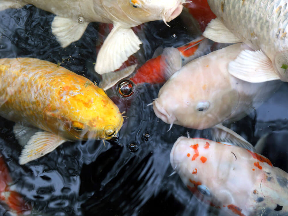 5 Most Common Koi Carp Diseases