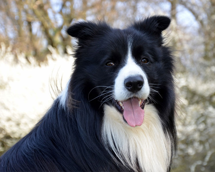 a long-haired and well-groomed border collie