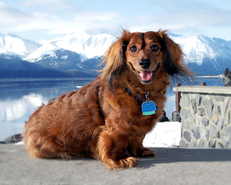 a long-haired dachshund sitting with an ice-mountain background