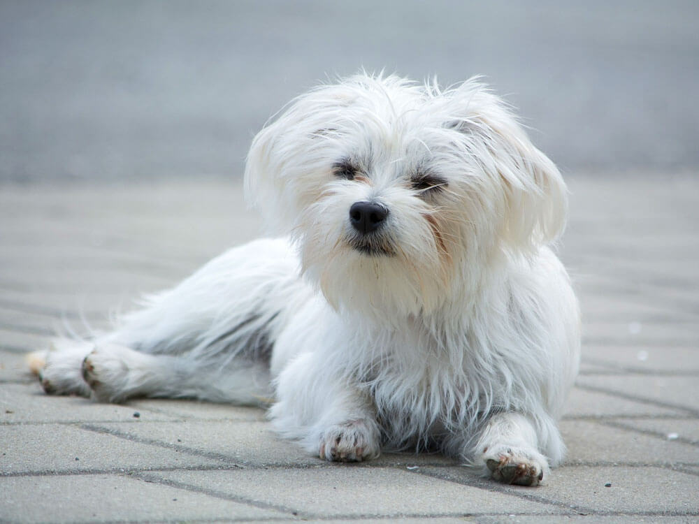maltese, one of the best small lap dog breeds
