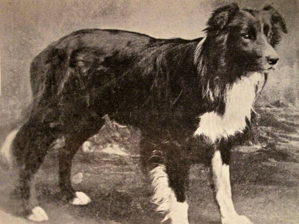 old hemp, crowned as the father of all border collies