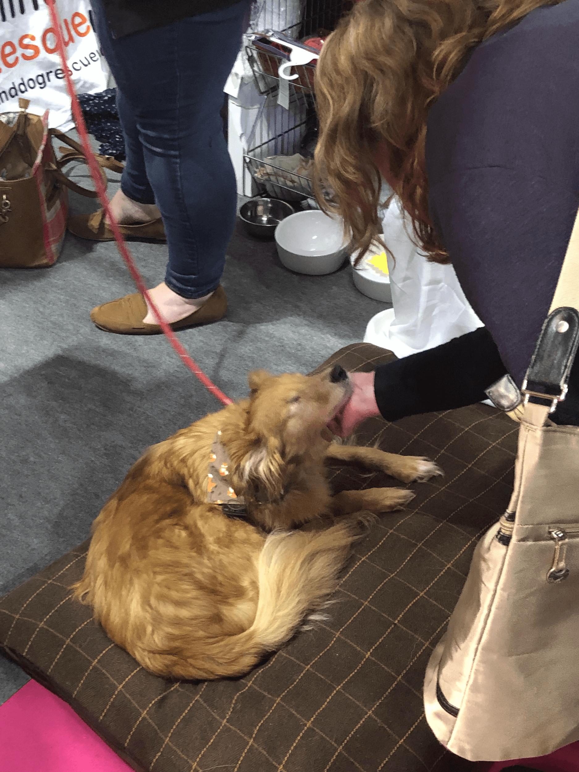 A blind pooch takes pleasure from this visitor's caress at the blind dog charity stand