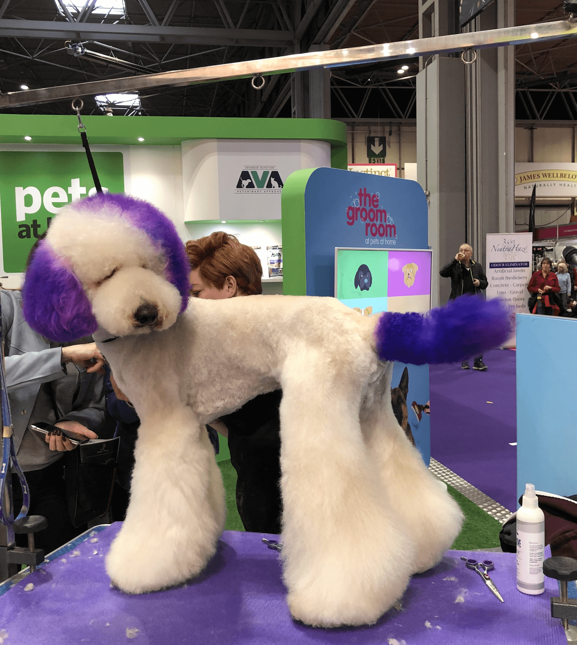 a dog stands out for having its purple hair color after grooming