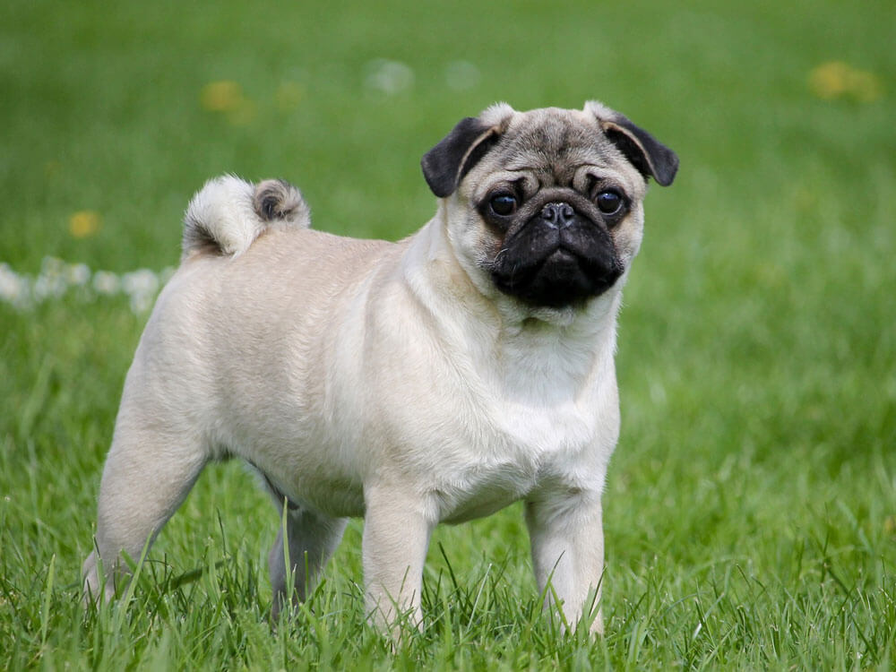 pug, one of the best small lap dog breeds