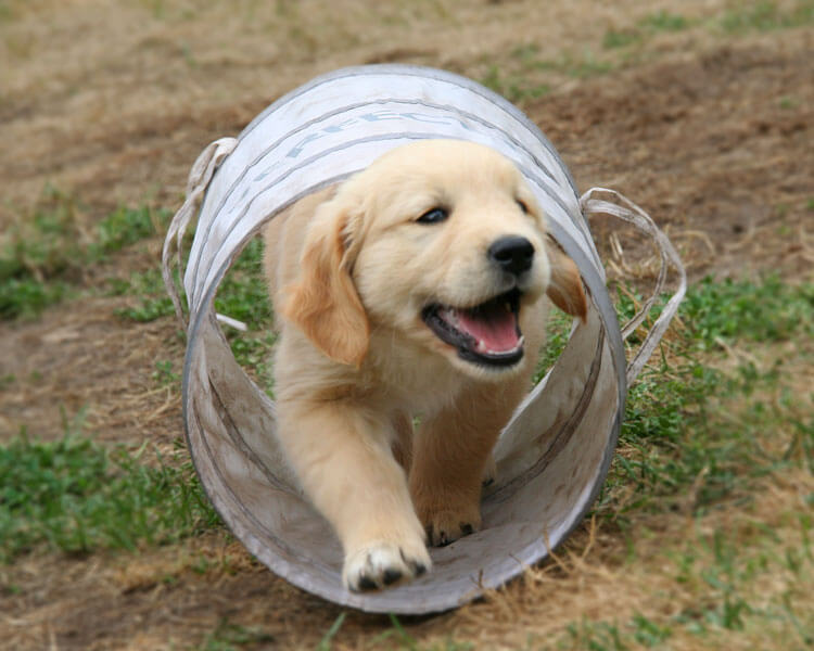 a puppy barking while passing through an agility test hole