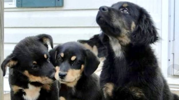 Four puppies which merebeth rescued before she became a pet transporter