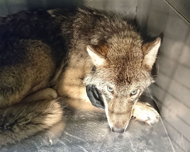The rescued wolf from an icy river in Estonia, transferred inside a cage of a pet clinic in Parnu