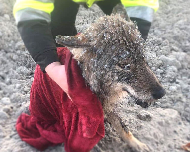 A wolf, which identified by the three Estonian workers as a dog, was successfully rescued from an icy river.