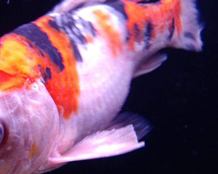 fin rot disease in koi carp