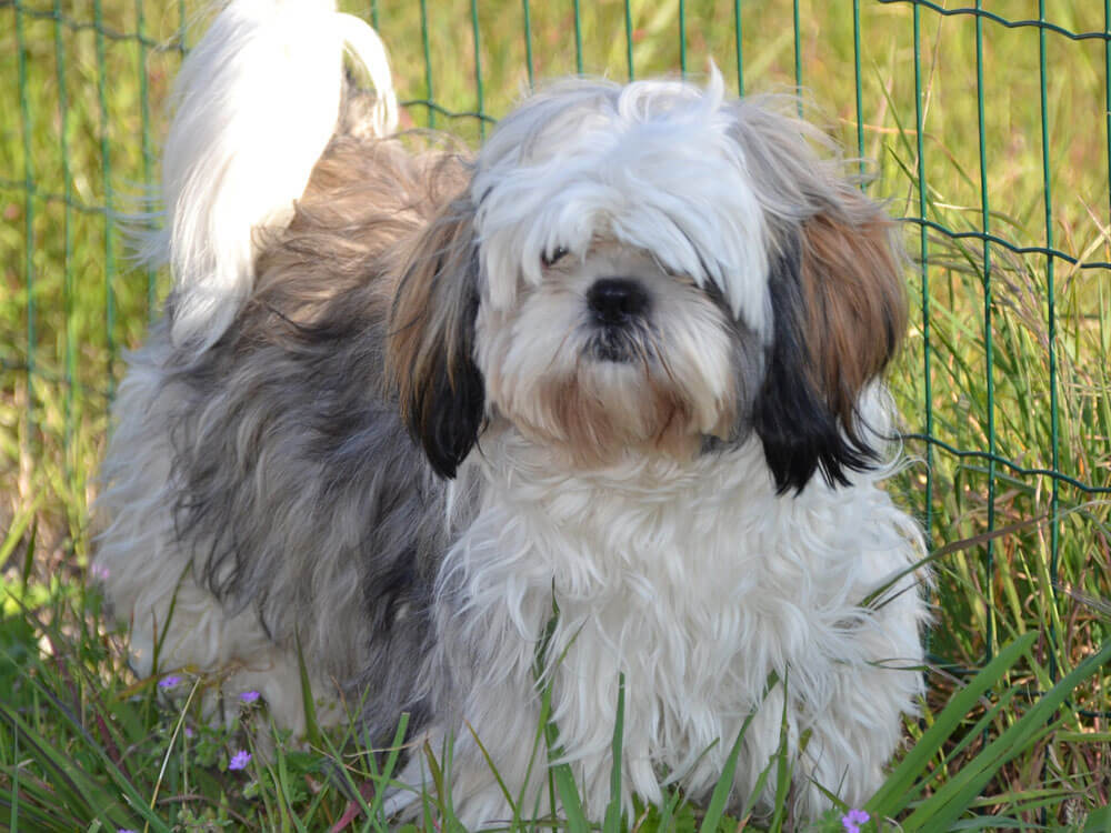 shih tzu, one of the best small lap dog breeds