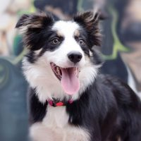 Border collie: The Smartest Dog in the World