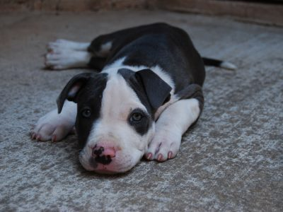 3 Training Tips for Staffordshire Bull Terrier