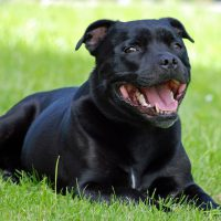 Are Staffordshire Bull terriers an Aggressive Breed