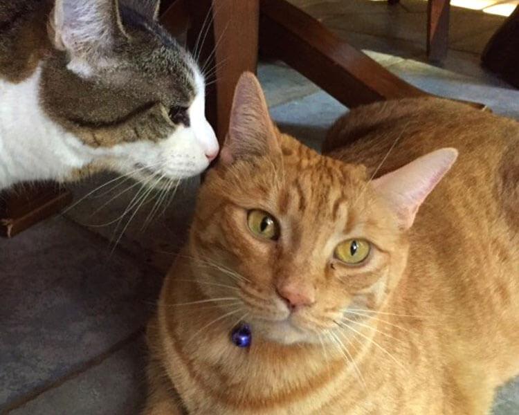 tabby cat pikachu with cat zee