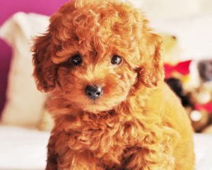 a toy poodle with a teddy bear cut