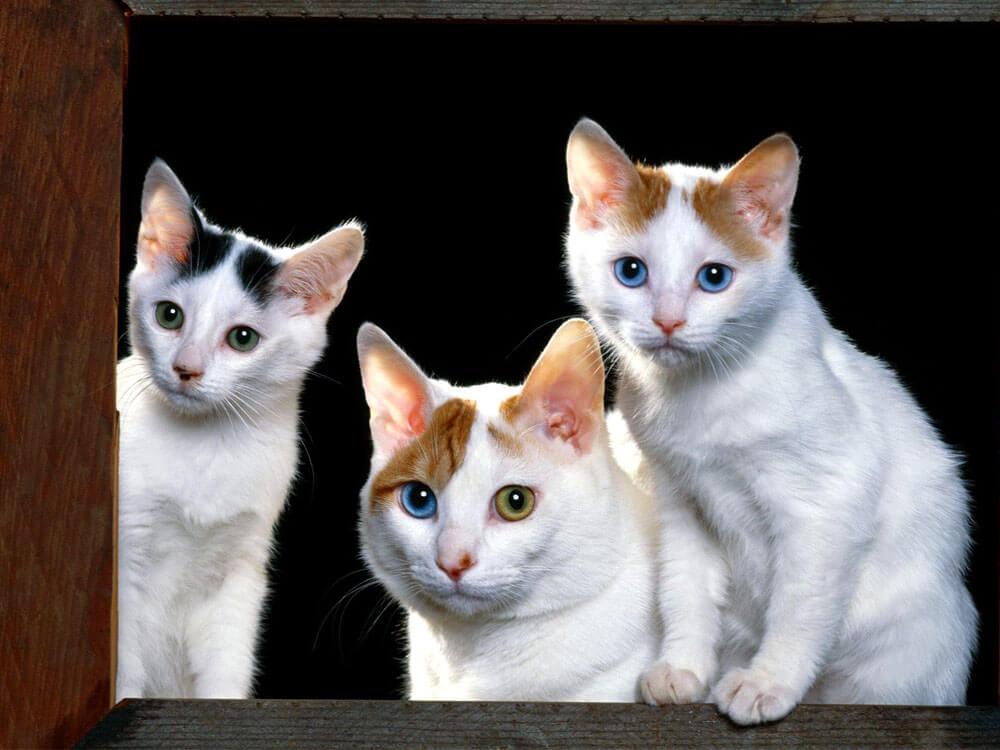 lucky cat cat breed