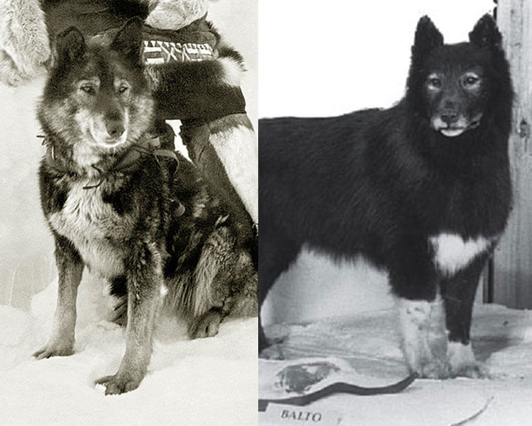 Togo and Balto, the siberian huskies that saved a remote town from a lethal outbreak