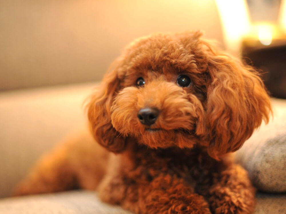 12 Amazing Toy Poodle Facts