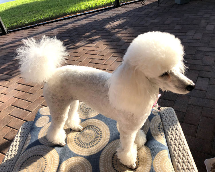 toy poodle with different hairstyle