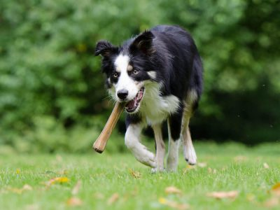 Training the Athletic Border Collies