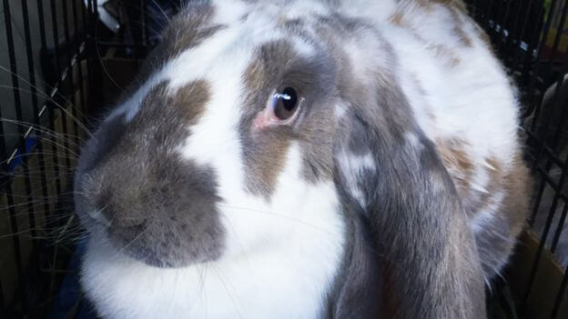 A bunny which merebeth experienced to transport into its new owner