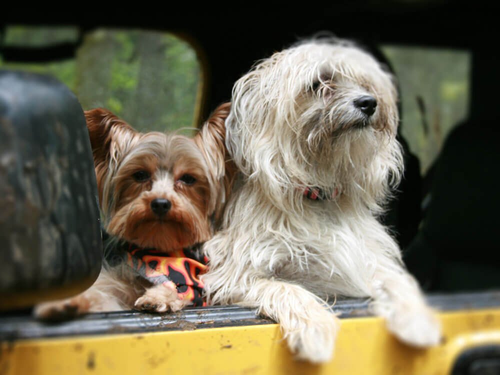 two dogs riding in a car without seatbelt
