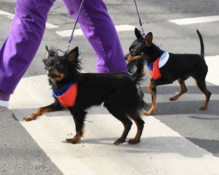 two russian toy dogs competing for crufts 2019